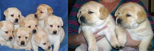 lab dog puppies for sale in bangalore, free labrador puppies for sale in bangalore, labrador dog sale in bangalore, labrador puppies sale in bangalore, labrador dogs for sale in bangalore, kci registered labrador puppies for sale in bangalore, labrador male puppies for sale in bangalore, labrador puppy for sale bangalore, lab puppies for sale in bangalore olx