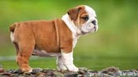 Bulldog puppy for sale in bangalore, Bulldog adoption bangalore, Bulldog dog adoption for free