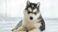 Siberian Husky puppy for sale in bangalore, Siberian Husky adoption bangalore, Siberian Husky dog adoption for free