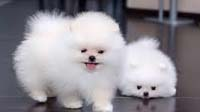 Pomeranian puppy for sale in bangalore, Pomeranian adoption bangalore, Pomeranian dog adoption for free