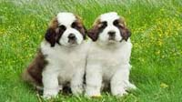 Saint Bernard puppy for sale in bangalore, Saint Bernard adoption bangalore, Saint Bernard dog adoption for free