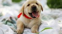 labrador puppy for sale in bangalore, labrador adoption bangalore, labrador dog adoption for free