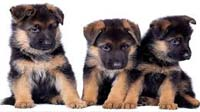 German Shepherd puppy for sale in bangalore, German Shepherd adoption bangalore, German Shepherd dog adoption for free