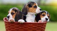 Beagle puppy for sale in bangalore, Beagle adoption bangalore, Beagle dog adoption for free