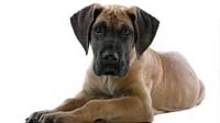 Great Dane puppy for sale in bangalore, Great Dane adoption bangalore, Great Dane dog adoption for free