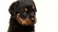 Rottweiler puppy for sale in bangalore, Rottweiler adoption bangalore, Rottweiler dog adoption for free