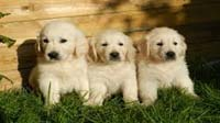 Golden Retriever puppy for sale in bangalore, Golden Retriever adoption bangalore, Golden Retriever dog adoption for free