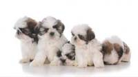 SHIH TZU puppy for sale in bangalore, SHIH TZU adoption bangalore, SHIH TZU dog adoption for free