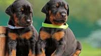 Doberman puppy for sale in bangalore, Doberman adoption bangalore, Doberman dog adoption for free
